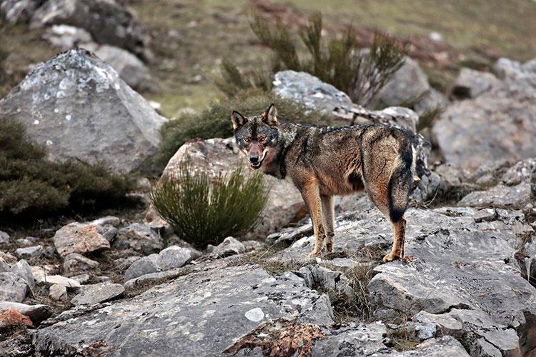 El lobo vuele a Guadalajara. (Foto: Andoni Canela.- WWF)