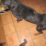 El Seprona investiga a una persona en Chiloeches por la muerte de un rottweiler