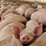 Los ecologistas alegan contra una granja de cerdos en Cincovillas