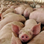 Castilla-La Mancha autoriza la macrogranja porcina de Luzón dentro de la zona protegida 'Red 'Natura 2000'