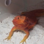 El SEPRONA investiga la venta ilegal de dragones barbudos en Azuqueca