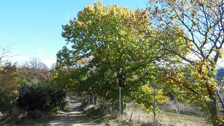 Un castaño en las cercanías de Valverde de los Arroyos