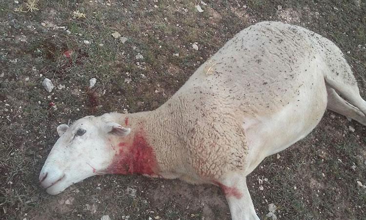 Uno de los últimos ataques de lobos al ganado