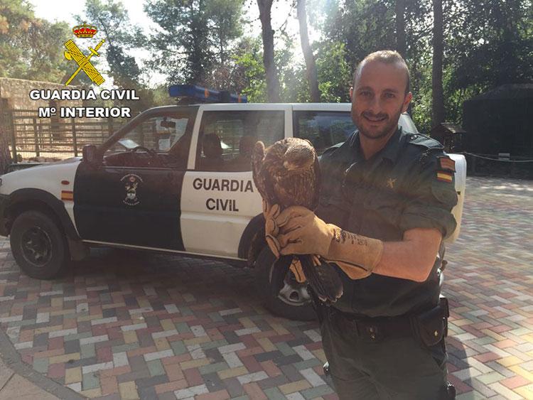 El milano negro recuperado por la Guardia Civil