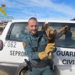 El SEPRONA recupera un Aguilucho Lagunero en Cifuentes