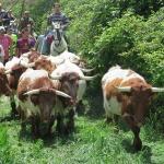 Caspueñas y Atanzón vuelven a celebrar un día de hermandad con una trashumancia de bueyes