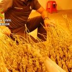 Desmantelada una plantación de marihuana en Fuentenovilla