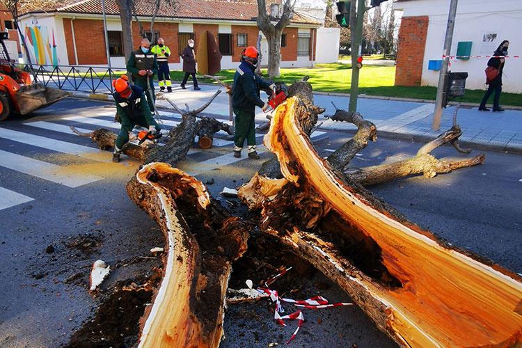 Árbol dañado y talado en la avenida de Alcalá. Fotografía: Ayuntamiento de Azuqueca